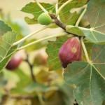いちじくの育て方!植え付け時期や挿し木での育て方は?摘果は必要?