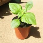 しその栽培方法!種や苗を植える時期や気をつける病気は?