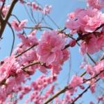 桃の花言葉とその由来!英語では違う意味の花言葉がある!?