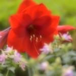 アマリリス(ベラドンナリリー)の花言葉と意味や由来!色別でも違う!?