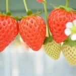 いちごの花言葉と意味!ヘビイチゴや野イチゴなど種類で違う!?