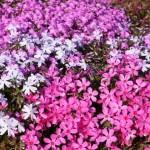芝桜の育て方!植え方やタイミング、増やし方のポイント!