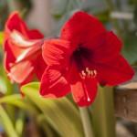 アマリリスの鉢植えや水耕栽培での育て方!花後や冬越し方法は?