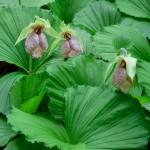 熊谷草はどんな花?特徴や開花時期、花言葉や名前の由来を紹介