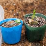 そら豆の育て方!植える時期や支柱・肥料を与えるタイミングは?