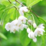 エゴノキの花言葉と開花時期はいつ?実には毒があって危険!?