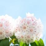 カルミアの花言葉と名前の由来!育て方と管理方法の注意点は?