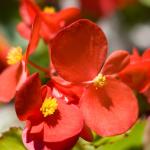 ベゴニアの花言葉と種類別の見分け方!育てやすい種類は?