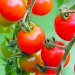 プチトマトの育て方のポイント!人気の品種や種まき時期はいつ?