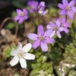 雪割草の花言葉と似てる花の違い!育て方のポイントは?