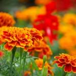 マリーゴールドの花言葉!色や種類で意味も違う!?