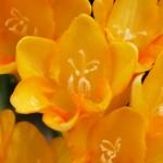 フリージアの花言葉!5つの色別で贈る相手に印象アップ!